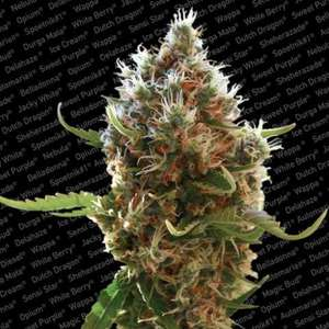Paradise Seeds Lucid Bolt Feminised cannabis seeds