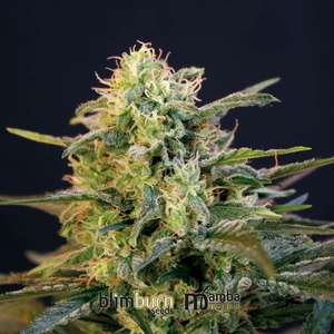 BlimBurn Seeds Mamba Negra Feminised cannabis seeds