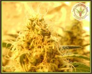 Dr Krippling SeedsMango Mist Shake Feminised Seeds
