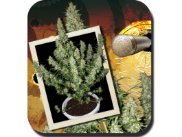 Buddha Seeds Magnum Auto Feminised cannabis seeds