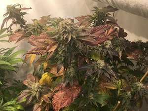 Mosca Seeds Legend OGK Feminised cannabis seeds