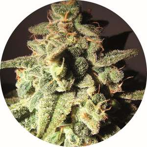Top Tao Seeds Micron AUTO Tao Regular  cannabis seeds