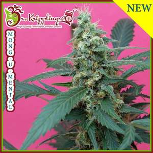 Dr Krippling Seeds Mong - U - Mental Feminised cannabis seeds