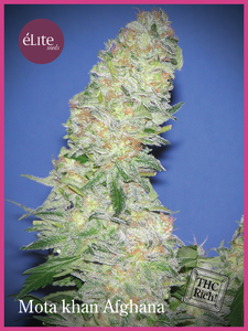 Elite Seeds Mota Khan Afghani Feminised cannabis seeds