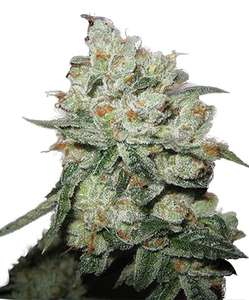 Phoenix SeedsOG Kush Feminised Seeds