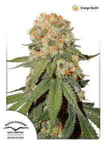 Dutch PassionOrange Bud Regular Seeds - 10