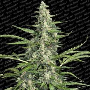 Paradise SeedsPandora Auto Feminised Seeds