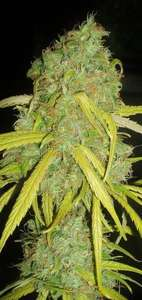 Garden Of GreenPineapple Amnesia Feminised Seeds