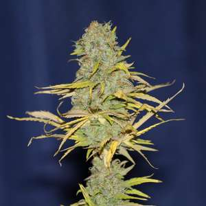 SeedsmanPower Africa FAST Feminised Seeds