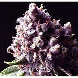 Sagarmatha SeedsPurple Pinecone Feminised Seeds - 5