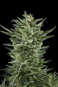 Royal Queen SeedsQuick One Auto Feminised Seeds
