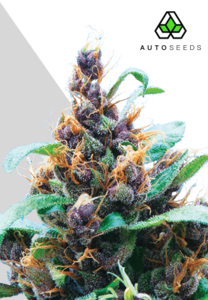Auto SeedsPurple Stilton Auto Feminised Seeds