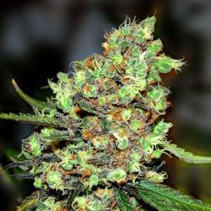 G13 LabsSkunk #1 Feminised Seeds - 5