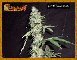 Dr Krippling SeedsSonic Bloom Auto Feminised Seeds