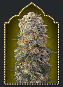 00 SeedsSweet Critical Feminised Seeds - 5