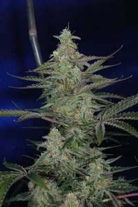 Subcool Seeds/TGA GeneticsThe Third Dimension Regular Seeds