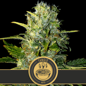 BlimBurn SeedsTangie Auto Feminised Seeds