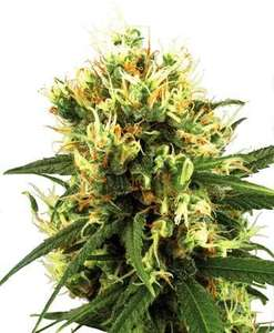 White Label Seed CompanyWhite Haze Auto Feminised Seeds