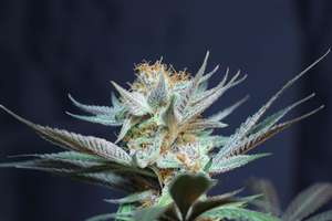 Subcool Seeds/TGA GeneticsVanilla Tart Regular Seeds