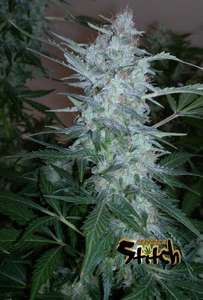 Flash SeedsWhite Sirius Autoflowering Feminised Seeds - 3