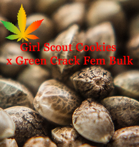 Girl scout cookies cross green crack cannabis seeds