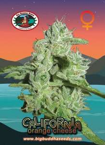 California Orange Cheese Feminised Seeds