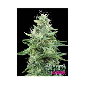 Gorilla Candy Feminised Cannabis Seeds by Eva Seeds
