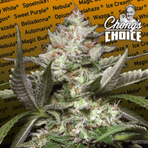 Paradise Seeds Kong 4 Auto Feminised cannabis seeds