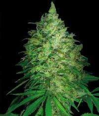 World of SeedsS. Africa Kwazulu Regular Seeds