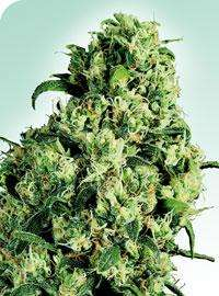 Sensi Seeds Skunk #1 Regular cannabis seeds