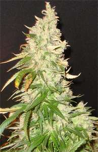 Seedsman Northern Soul Feminised cannabis seeds