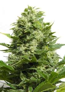 Big Buddha Seeds Cheese Feminised cannabis seeds