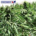 Positronic Seeds Afghan Express Autoflowering Feminised cannabis seeds