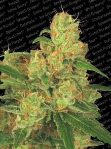 Paradise Seeds Acid Auto Feminised cannabis seeds