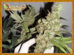 Dr Krippling Seeds Afghan Cow Feminised cannabis seeds