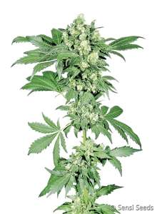 Sensi Seeds Afghani #1 Feminised cannabis seeds