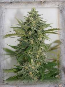 Garden Of Green Amnesia Lemon Pie Feminised cannabis seeds