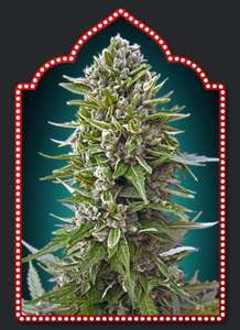 00 SeedsAutomatik Collection #2 Feminised Seeds - 6
