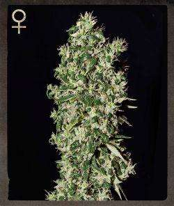 Strain Hunters MerchandiseBig Tooth Feminised Seeds