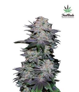FastBuds Seeds Blackberry Auto Feminised cannabis seeds