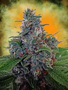 Ministry of Cannabis Blue Amnesia Auto Feminised cannabis seeds