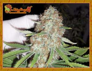 Dr Krippling Seeds Blue Kripple Feminised cannabis seeds