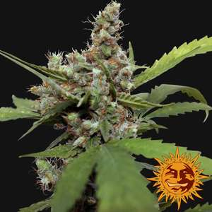 Barney's Farm Seeds Blue Shark CBD Feminised cannabis seeds