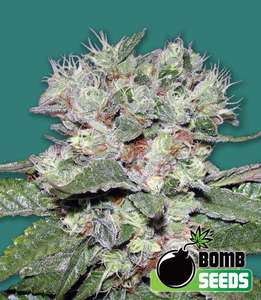 Bomb Seeds Bomb CBD Feminised cannabis seeds