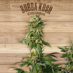 The Plant Bubba Kush Feminised- TP cannabis seeds