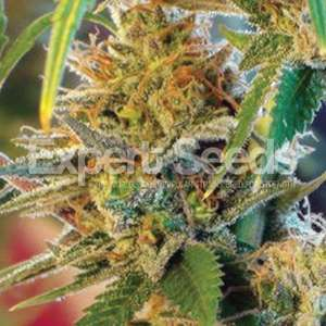 Expert Seeds California Orange Feminised(formerly Orange Skunk) cannabis seeds