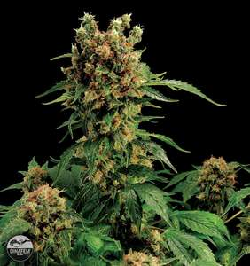 Dinafem Seeds California Hash Plant Feminised cannabis seeds