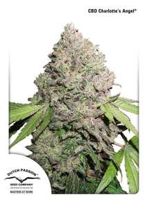 Dutch Passion Charlotte's Angel CBD Feminised cannabis seeds