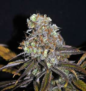 CBD Crew CBD Critical Mass Feminised cannabis seeds