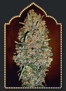00 SeedsChocolate Skunk Auto Feminised Seeds - 5